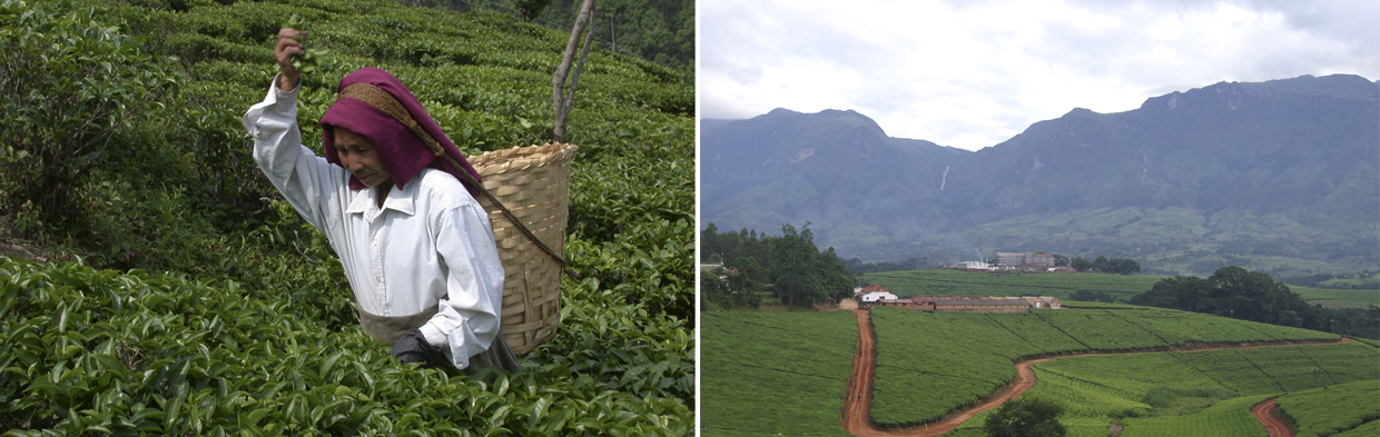 Trumpers Tea - Tea Plantation